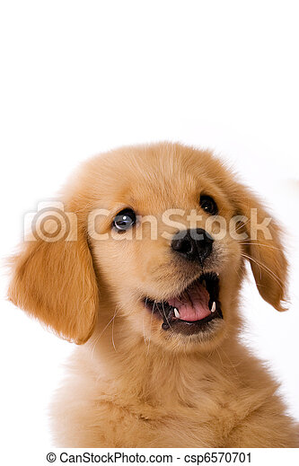 Golden Retriever Puppy - csp6570701