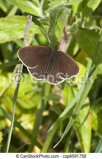 ringlet butterfly - csp6591758
