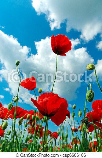 Poppys and sky - csp6606106