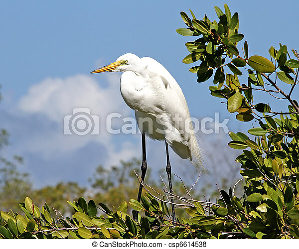 Great Egret in Mangrove Tree - csp6614538