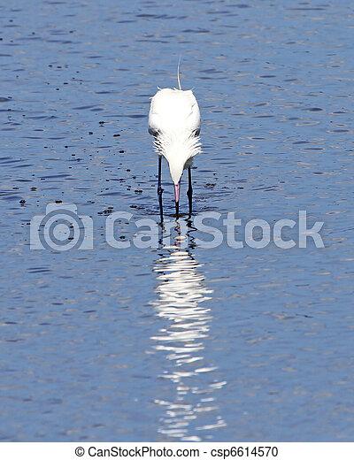 Reddish Egret fishing 3 - csp6614570