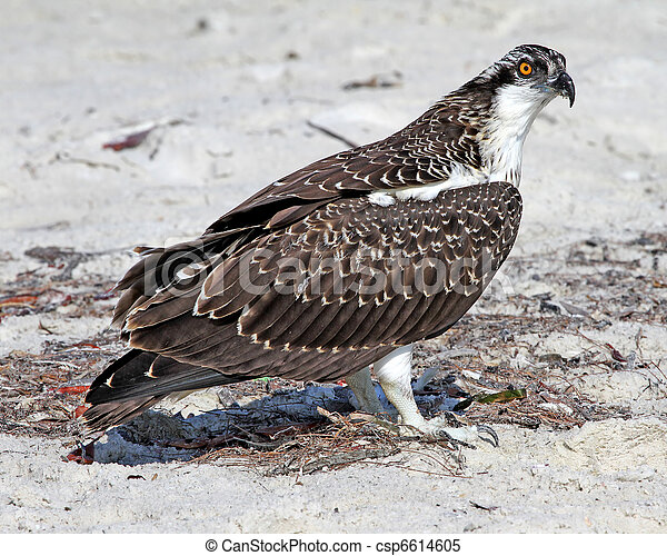 Osprey Juvenile on beach 1 - csp6614605