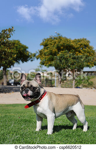 Purebred Canine Pet French Bull Dog - csp6620512