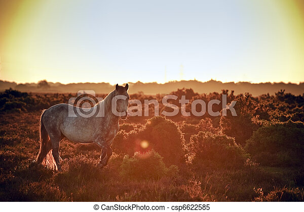 Stunning warm glow image of New Forest pony at sunrise backlit highlighting detail and giving surreal tint to image - csp6622585