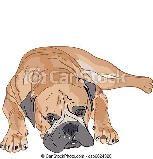 purebred Bullmastiff - csp6624320