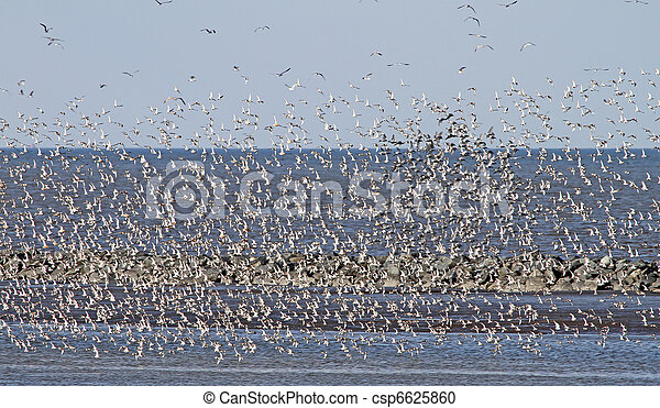 Flock of migrating shorebirds 2 - csp6625860