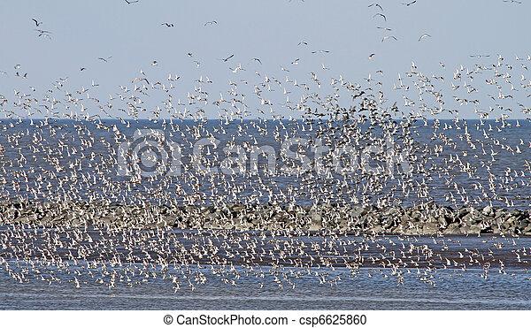 Flock of migrating shorebirds 2 - csp6625860