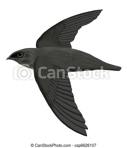 Chimney Swift - csp6626107