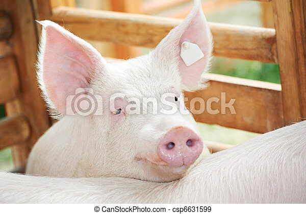 young pig in shed - csp6631599