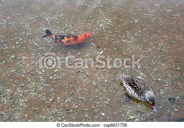 Photo d coratif carpe ou koi canard image images for Carpe koi tarif