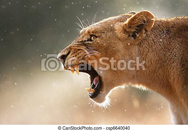 Lioness displaing dangerous teeth - csp6640040