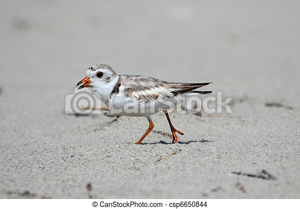 Endangered Piping Plover (Charadrius melodus) - csp6650844