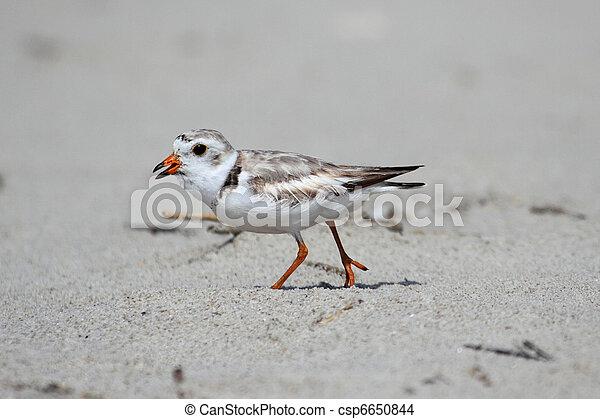 Endangered Piping Plover (Charadrius melodus) - csp6650844