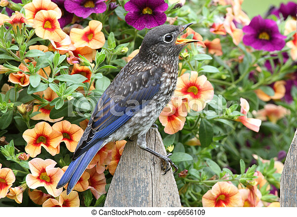 Eastern Bluebird with flowers - csp6656109