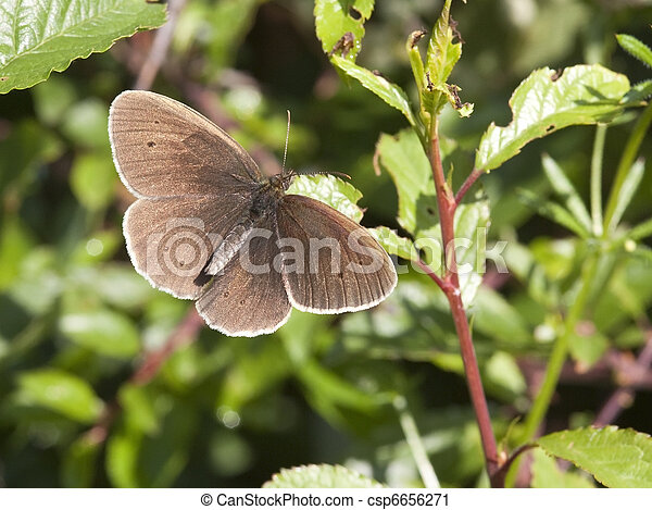 ringlet butterfly - csp6656271