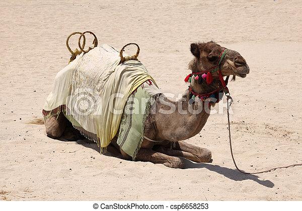 Camel on the beach in Dubai, United Arab Emirates - csp6658253