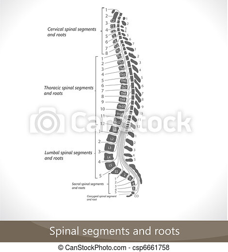 Spinal segments and roots. - csp6661758