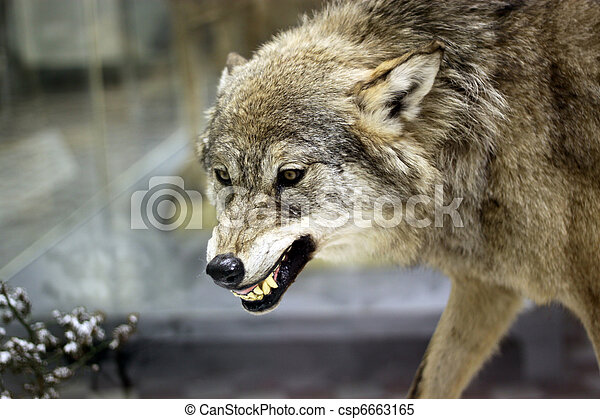 Angry wolf - csp6663165