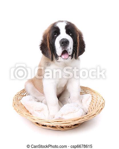 Cute Saint Bernard Puppy on White - csp6678615