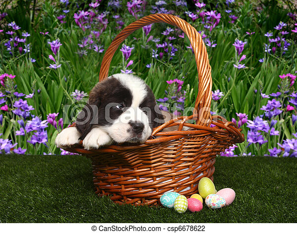 Saint Bernard Puppy Portrait - csp6678622
