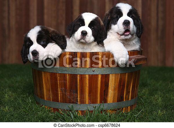 Three Adorable Saint Bernard Puppies in a Barrel - csp6678624