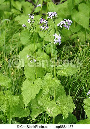 Perennial honesty (Lunaria rediviva) - csp6684437