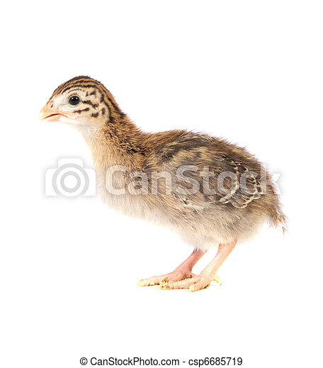One Week Old Guinea Fowl Keet Standing Profile - csp6685719