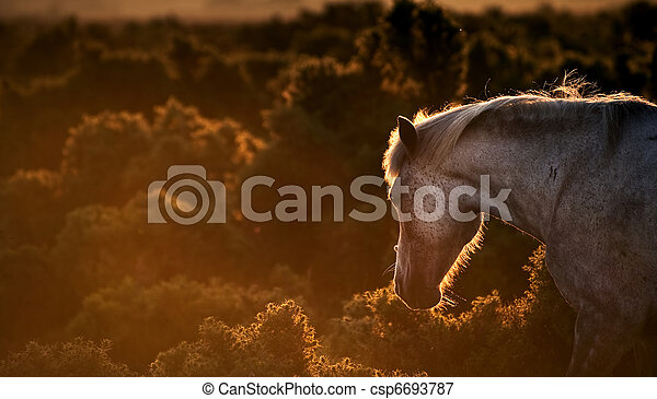Stunning warm glow image of New Forest pony at sunrise backlit highlighting detail and giving surreal tint to image - csp6693787