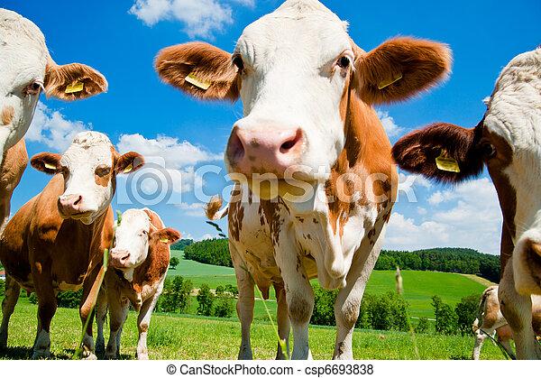 Curious simmental cows - csp6693838