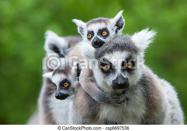 ring-tailed lemur with her cute babies - csp6697536