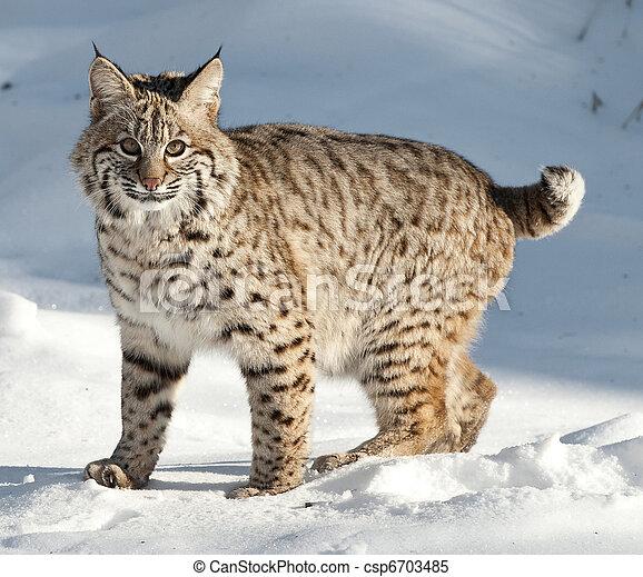 bobcat - csp6703485