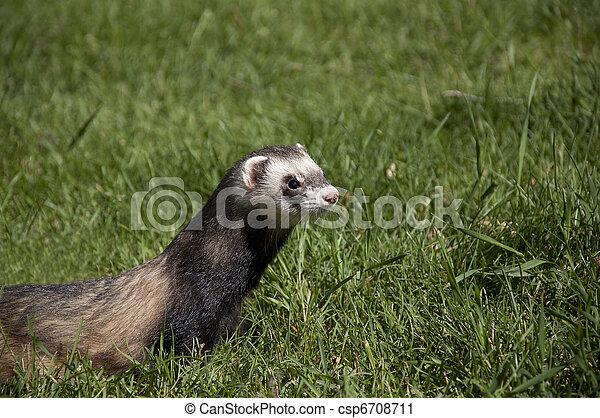 ferret walking in the grass - csp6708711