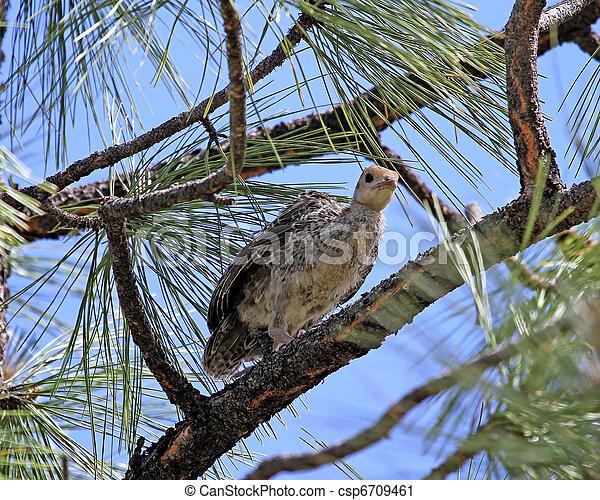 Wild Turkey chick in pine tree 2 - csp6709461