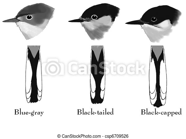 Three Gnatcathers compared - csp6709526
