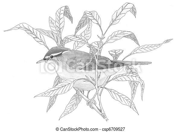 Arctic Warbler on Willow - csp6709527