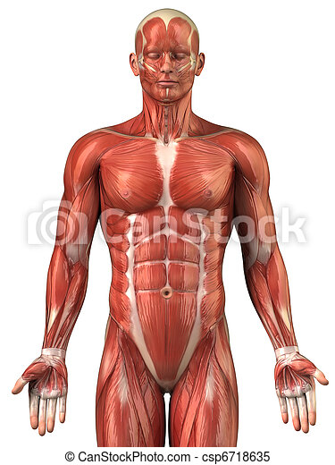 Man muscular system anatomy anterior view - csp6718635