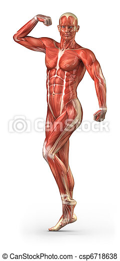 Man muscular system anterior view in body-builder position - csp6718638