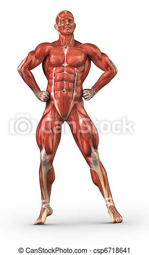 Man muscular system anterior view in body-builder position - csp6718641