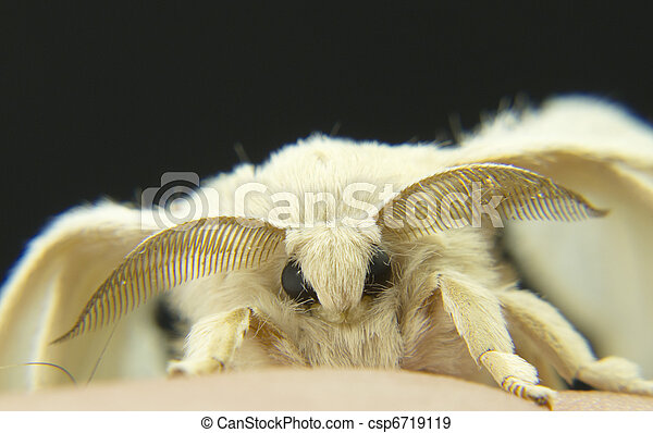 silkworm moths on their cocoons - csp6719119