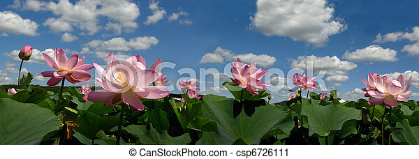 The Lotus flower ,     panorama, prospect  - csp6726111