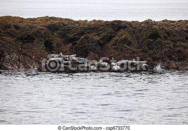 Harbor Seals - csp6733770