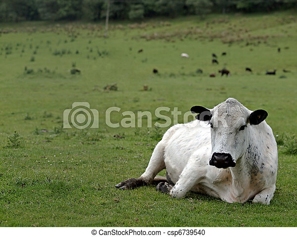 British White Beef Cow - csp6739540
