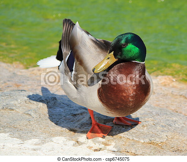 Male mallard duck - csp6745075