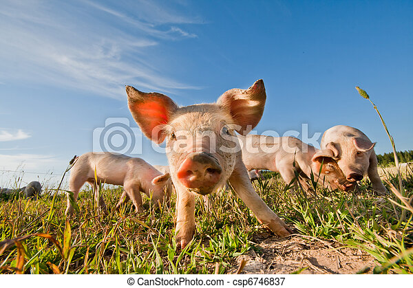 Pigs standing on a pigfarm in Sweden - csp6746837