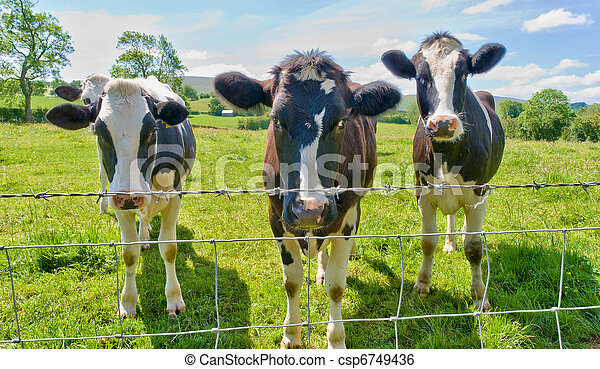 Three cows behind a barbed wire fence. - csp6749436