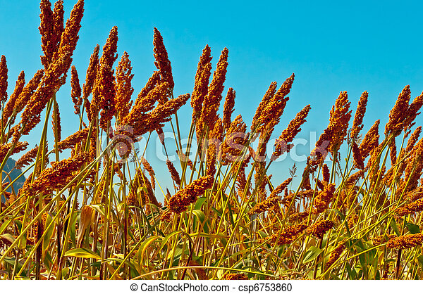 Sorghum field on a blue sky  - csp6753860