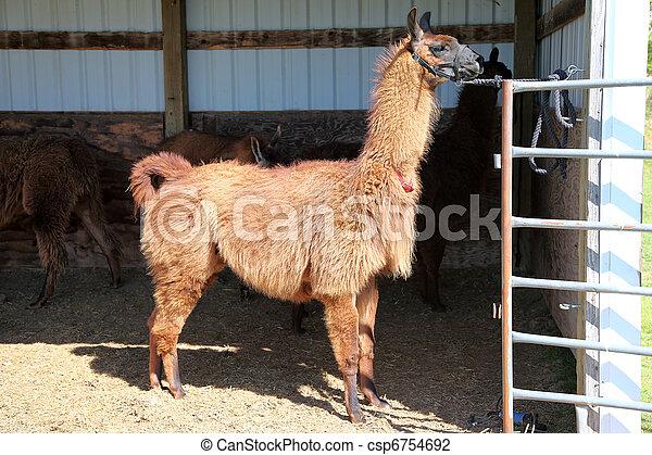Lama domesticated. - csp6754692