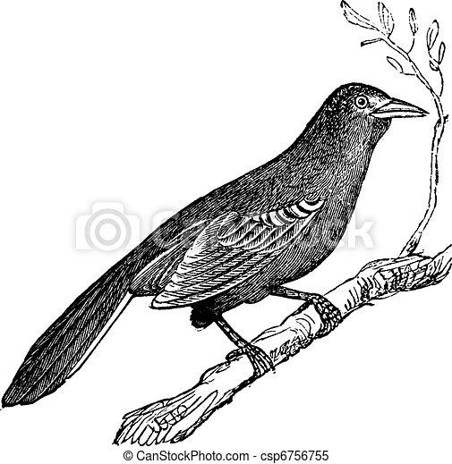 Mockingbird (Mimus polyglottus), vintage engraving - csp6756755