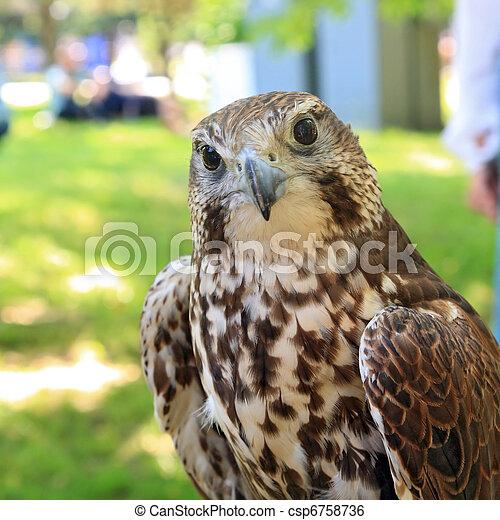 falcon - csp6758736