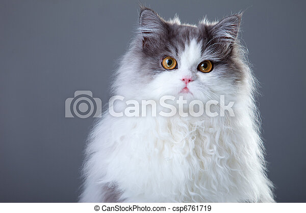 Portrait of young beautiful gray and white persian cat on grey background - csp6761719
